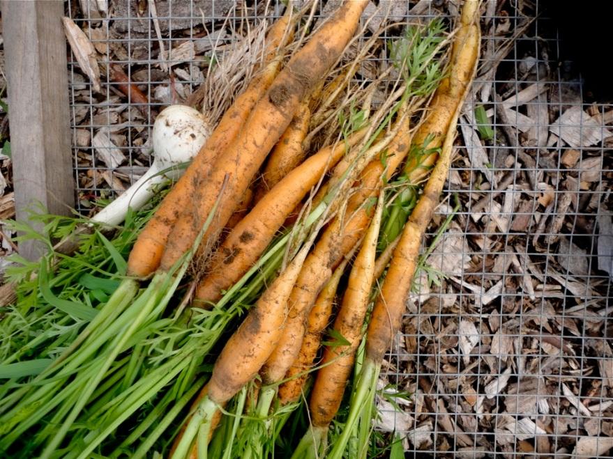 CarrotHarvest