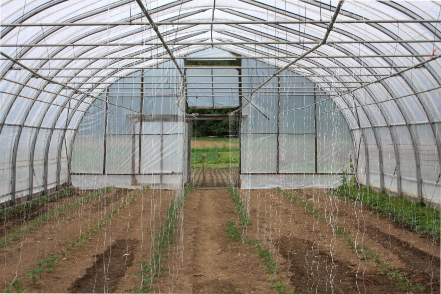 Greenhouse tomatoes, with lettuces beyond