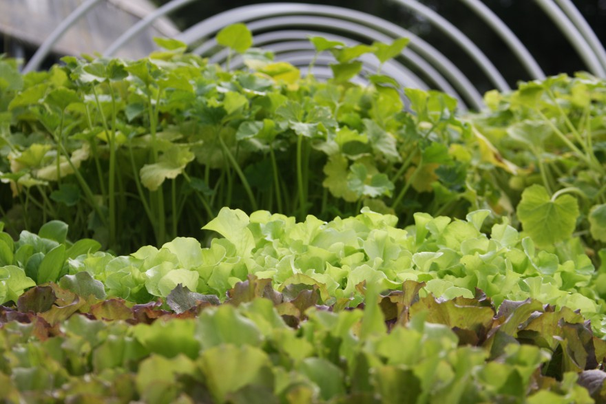 Lettuce and cilantro seedlings