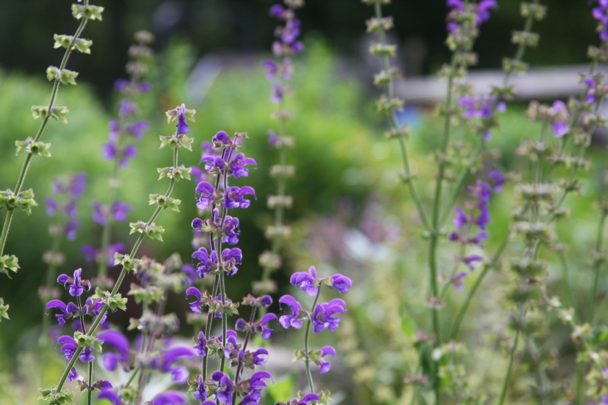 Meadow sage flowers in the remembrance garden